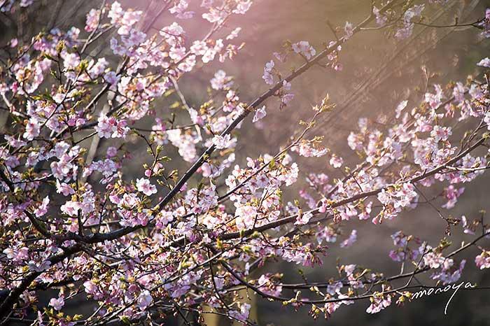 河津桜〜石川県樹木公園_c0085877_62493.jpg