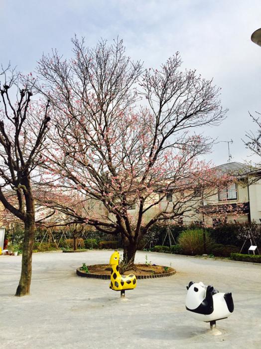 緋寒桜二分咲き_d0138811_12552448.jpg