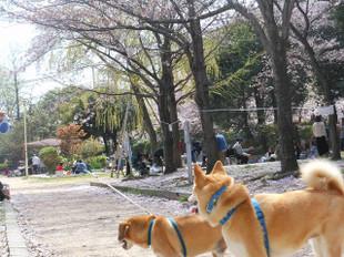お花見散歩_e0371017_11440905.jpg