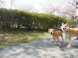 お花見散歩_e0371017_11440920.jpg