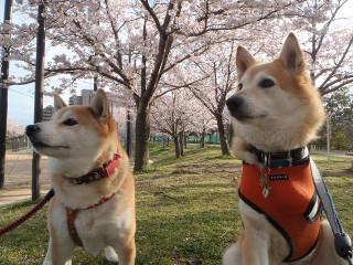 桜と一緒に記念撮影_e0371017_11593130.jpg