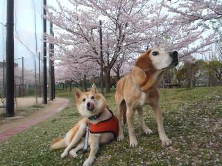 桜と一緒に記念撮影_e0371017_11593152.jpg