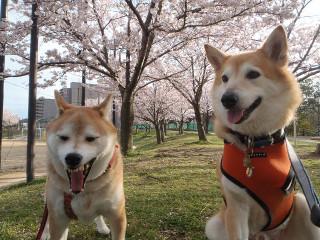 桜と一緒に記念撮影_e0371017_11593170.jpg
