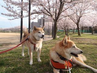 桜と一緒に記念撮影_e0371017_11593212.jpg