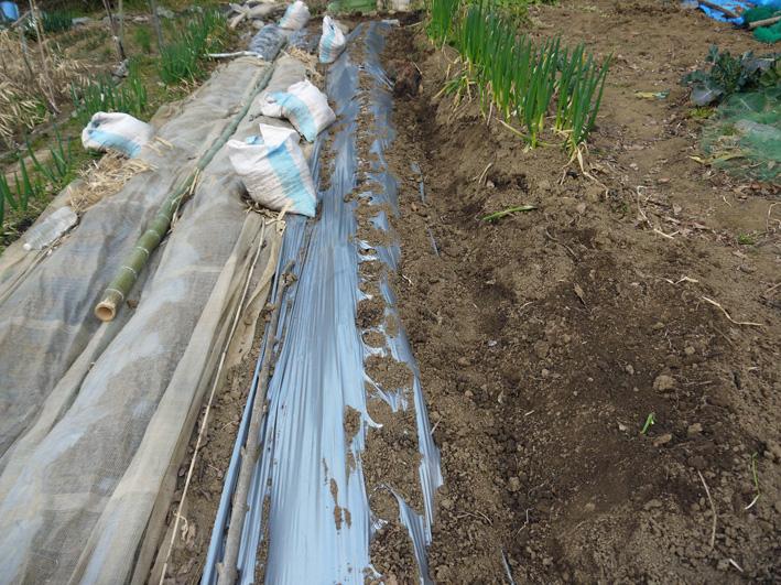 ジャガイモ発芽、サトイモ本格的に植え付け3・17_c0014967_10375641.jpg
