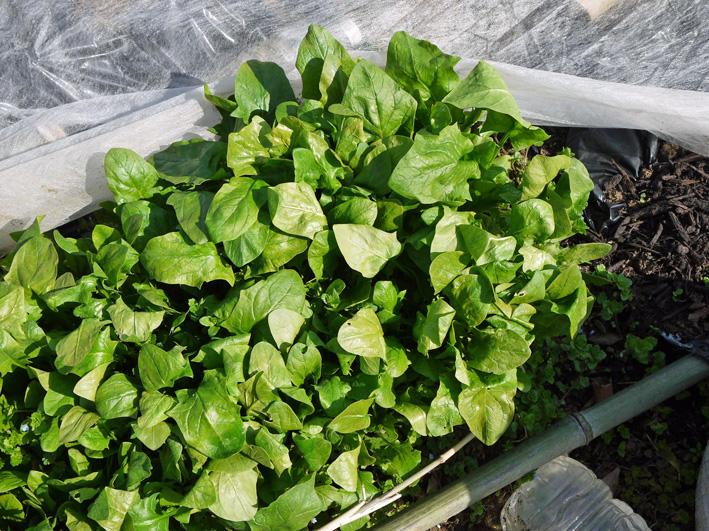 ジャガイモ発芽、サトイモ本格的に植え付け3・17_c0014967_10382918.jpg