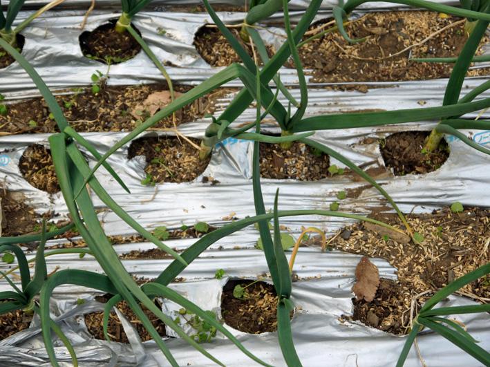 ジャガイモ発芽、サトイモ本格的に植え付け3・17_c0014967_10392729.jpg