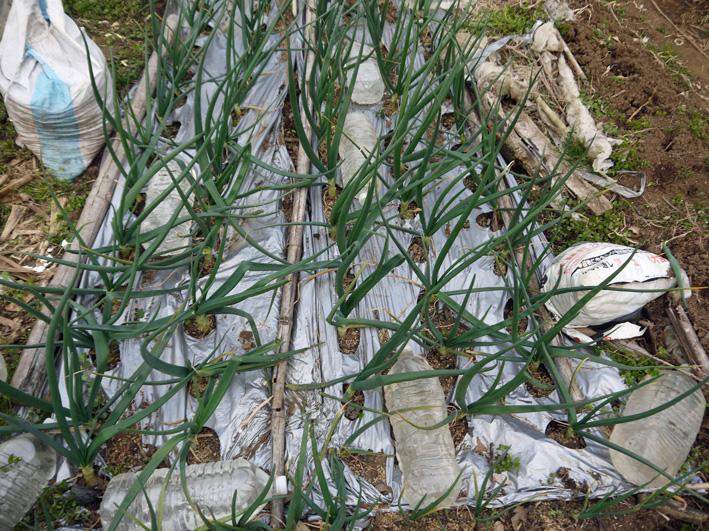 ジャガイモ発芽、サトイモ本格的に植え付け3・17_c0014967_10393710.jpg