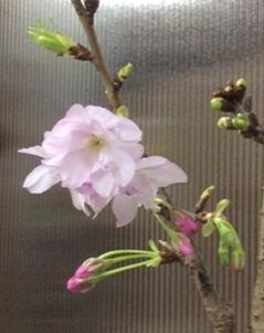 ひっそりと桜_b0273973_00092263.jpg