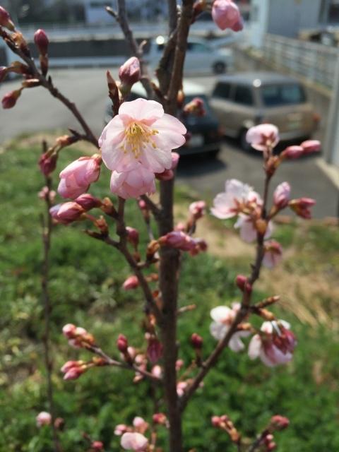 みんなの桜_b0183681_11343530.jpeg