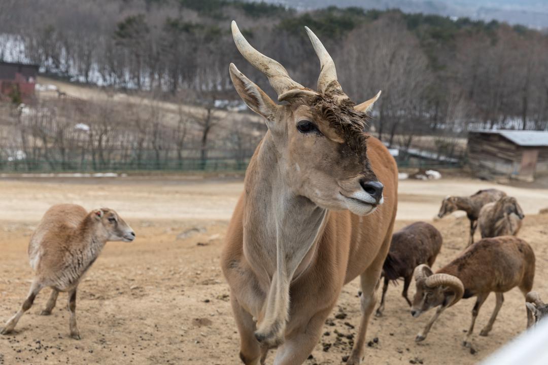 東北サファリパーク~近寄る動物たち_a0158797_23070242.jpg