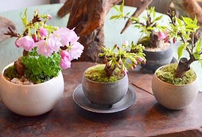 3連休と桜盆栽ワークショップ_d0263815_20102235.jpg