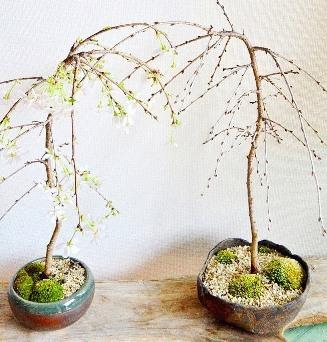 3連休と桜盆栽ワークショップ_d0263815_20155513.jpg