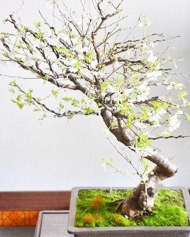 3連休と桜盆栽ワークショップ_d0263815_20224164.jpg
