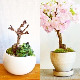 3連休と桜盆栽ワークショップ_d0263815_20285086.jpg