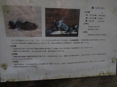鰍(かじか)と観光客_f0289632_85504.jpg