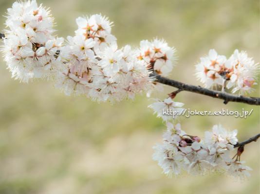 春の花 いろいろ_a0157091_20334616.jpg