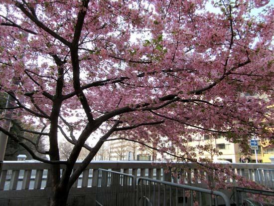 戻り橋 河津桜_e0048413_20540052.jpg
