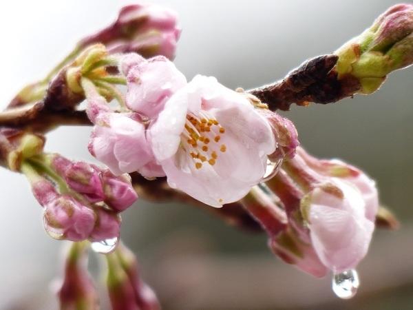 2017 桜 開花!_a0351368_22105146.jpg