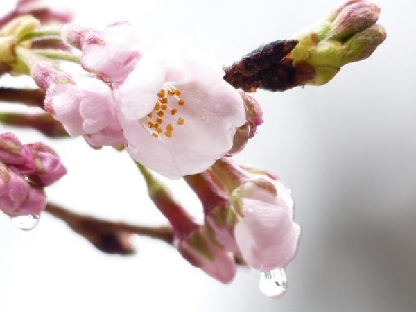 2017 桜 開花!_a0351368_22110881.jpg