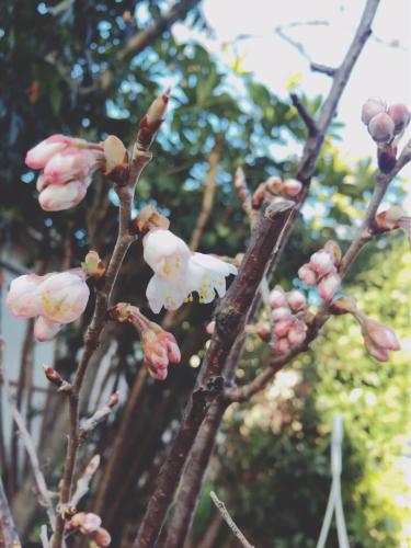 桜咲く_c0184989_10203974.jpg