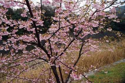 咲いてるよ!こちらも立派な桜_b0145296_855114.jpg