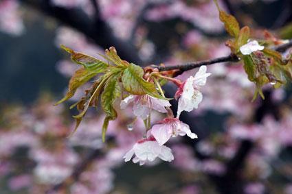 咲いてるよ!こちらも立派な桜_b0145296_8552261.jpg