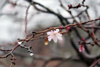 咲いてるよ!こちらも立派な桜_b0145296_8553127.jpg