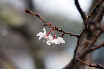 咲いてるよ!こちらも立派な桜_b0145296_8554146.jpg