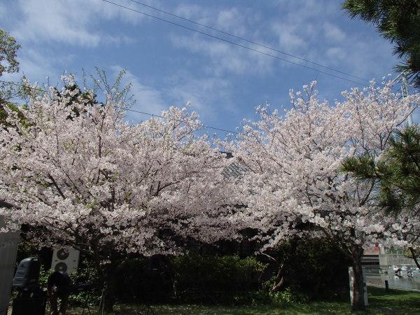 名勝和歌の浦 桜まつり_c0367107_16543865.jpg