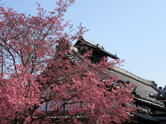 オカメ桜満開 長徳寺_e0048413_19553130.jpg