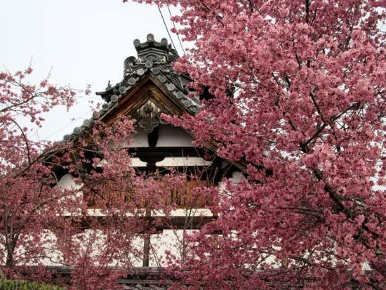 オカメ桜満開 長徳寺_e0048413_19553676.jpg