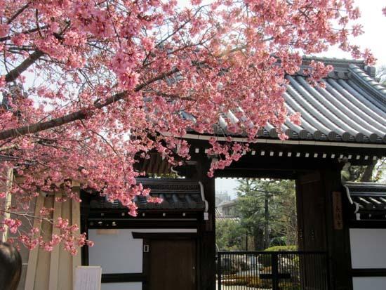 オカメ桜満開 長徳寺_e0048413_19554015.jpg