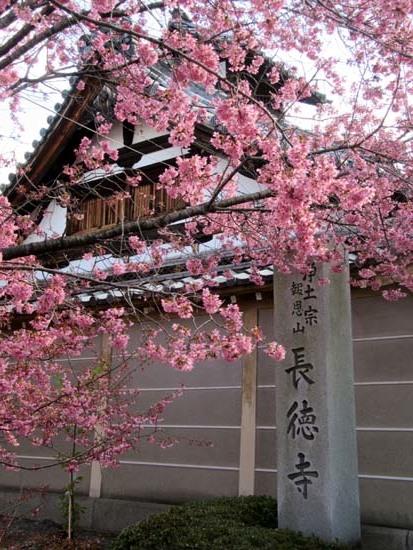 オカメ桜満開 長徳寺_e0048413_19554489.jpg