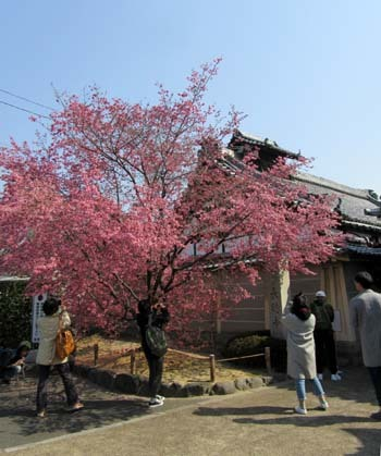 オカメ桜満開 長徳寺_e0048413_19555184.jpg