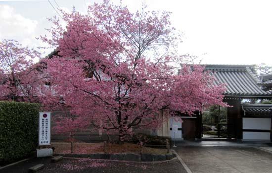 オカメ桜満開 長徳寺_e0048413_19555741.jpg
