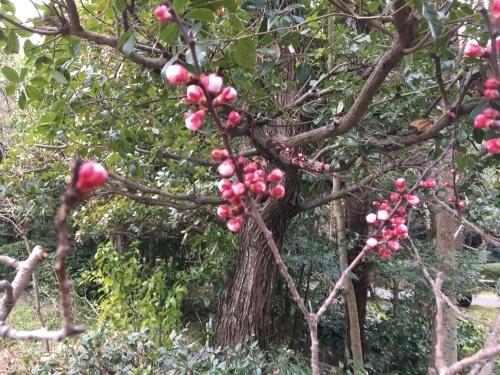 東京では桜が開花?_d0141987_12531460.jpg