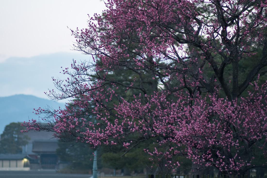 京都御苑・黒木の梅 (2)_b0221605_1994155.jpg
