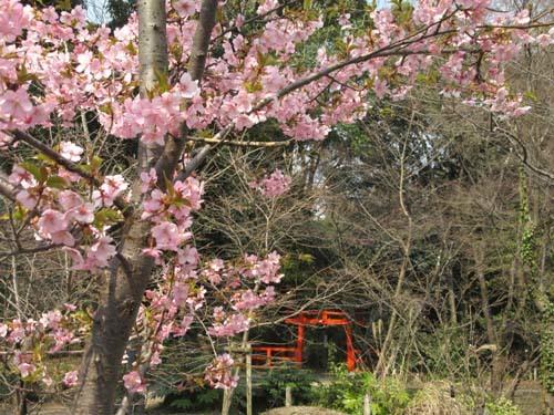 植物園の早や咲き桜_e0048413_20025643.jpg