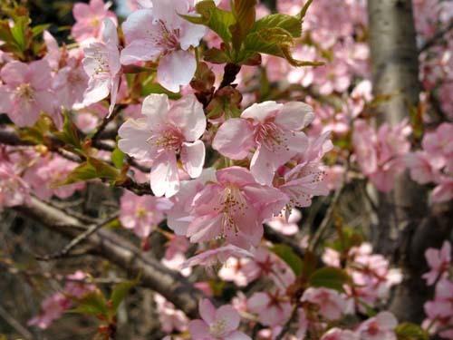 植物園の早や咲き桜_e0048413_20030300.jpg