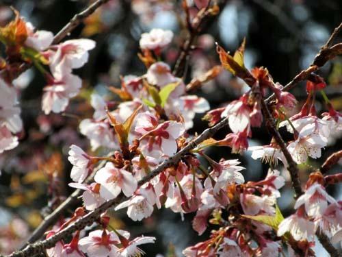 植物園の早や咲き桜_e0048413_20030729.jpg