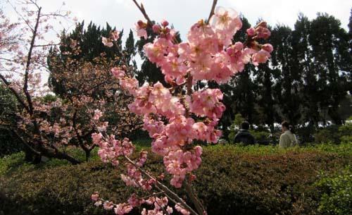 植物園の早や咲き桜_e0048413_20031195.jpg