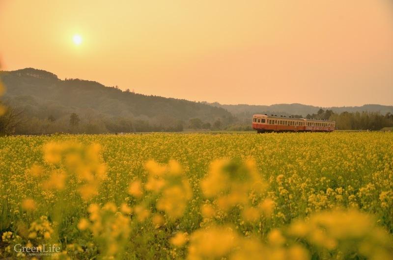 菜の花列車は夢の中へ_f0321522_18134273.jpg