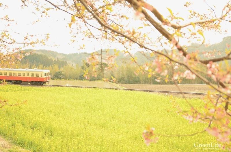 菜の花列車は夢の中へ_f0321522_20275598.jpg