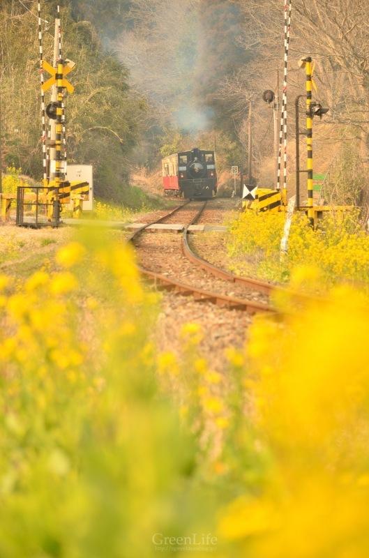 菜の花列車は夢の中へ_f0321522_20322887.jpg