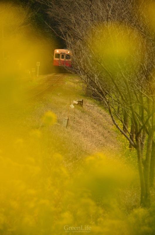 菜の花列車は夢の中へ_f0321522_20354520.jpg
