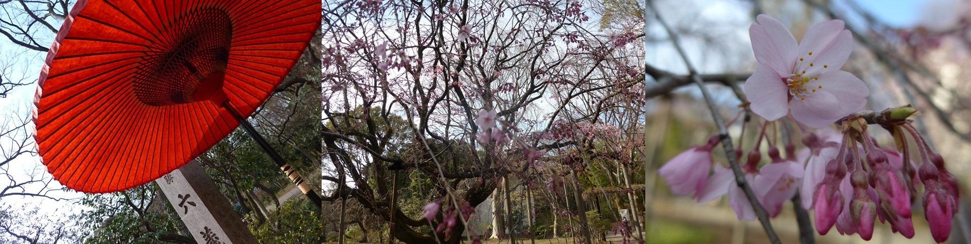 咲き始めた桜を愛でながら、、、看護師特定行為、臨床研修、医療計画_b0115629_23282700.jpg