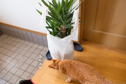 憧れの観葉植物_d0355333_11355334.jpg