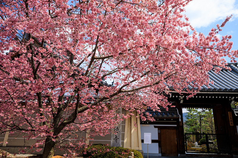 京都の桜2017 長徳寺のおかめ桜_f0155048_2341565.jpg