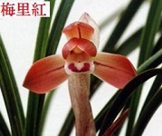 正体不明の中国蘭                         No.1770_d0103457_00022329.jpg